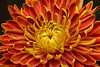 Close-up of a Japanese fall-flowering Kiku or chrysanthemum in orange and yellow.