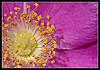 Wild Dog Rose closeup