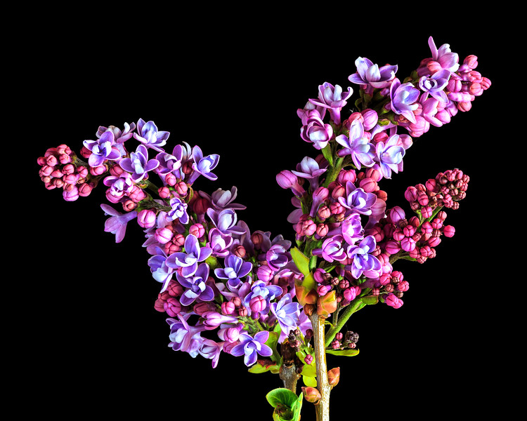 Portrait%20of%20a%20Lilac-L.jpg