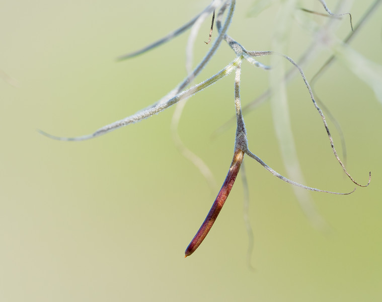"""Spanish Moss"" (Tillandsia usneoides) Seed Pod"