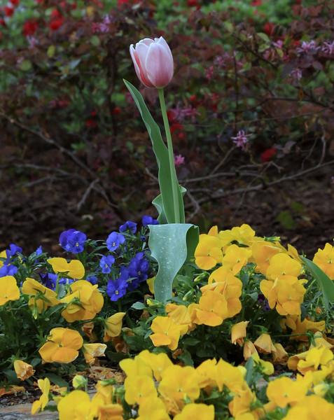 Last tulip left.