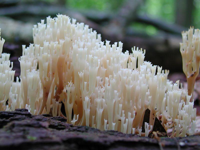Coral Fungus