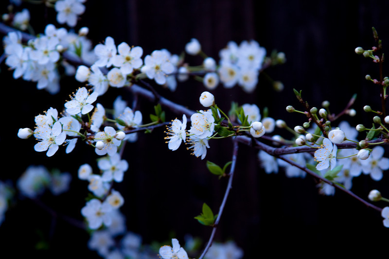 Plum blossoms outside our house.
