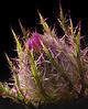 Horrible Thistle (Cirsium horridulum)