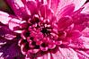 09 Garden Sept 2008 - Mums