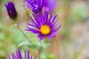2007 Colorado Trip - Silverton Loop Wild Flower