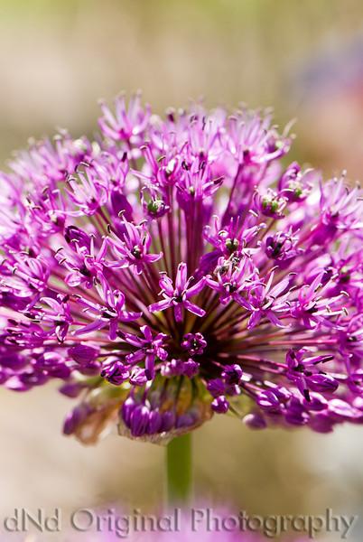 Allium with Bee (04-48-07)