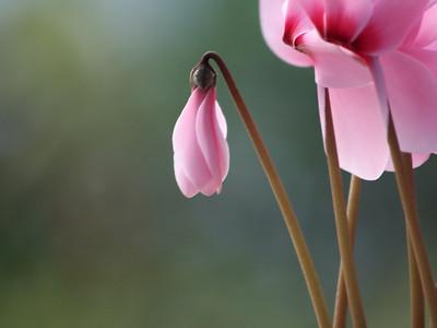 Soft Pink Cyclamen