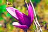 144 Shaw Garden 4-20-2008 - Japan Tulip Flower (virt paint)
