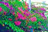 156 Bahamas 2008 In Nassau - Flowers (vp5 watercolor)