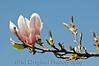131 Shaw Garden 4-20-2008 - Magnolia Blossom