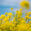 Canola Blossoms In Satte Japan