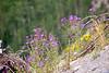 2007 Colorado Trip - Silverton Loop Wild Flowers