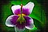 127 Shaw Garden 4-20-2008 - Flower 1 of 3 (vert paint)