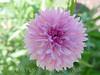 Pink Scaviosis 2002