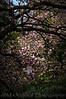 133 Shaw Garden 4-20-2008 - Magnolia Tree (nik lowkey with mask)