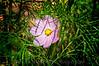 04 Garden Sept 2008 - Cosmos (nik tonalcontrast)