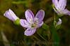 146 Shaw Garden 4-20-2008 - Flower 2 of 2 (snapart oilpaint)