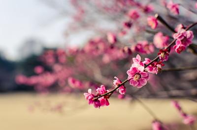 Ume Blossoms at Shinjuku Park