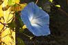 02 Garden Sept 2008 - Morning Glory (posteredges niksoftfocus)