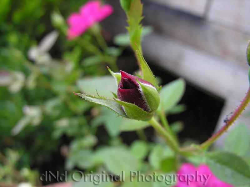 028 Tea Rose Blossom 2006