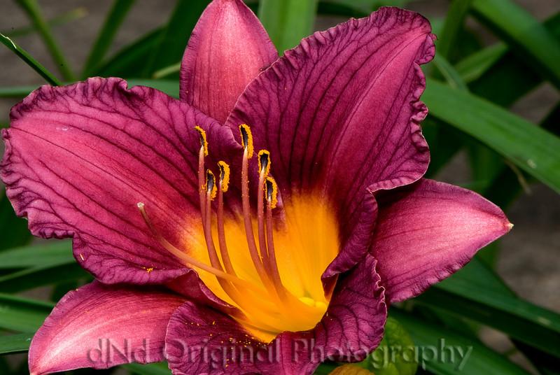 2007 Garden - Day Lilly