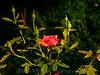 Rose Study 01 - 8sec f4 ApPri enhanced