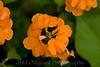 2007 Garden - Orange Marmalade Flower