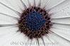 170 Satin Daisey Sept 2008 3a (nik tonalcontrast)