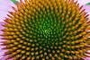 2007 Garden - Cone Flower