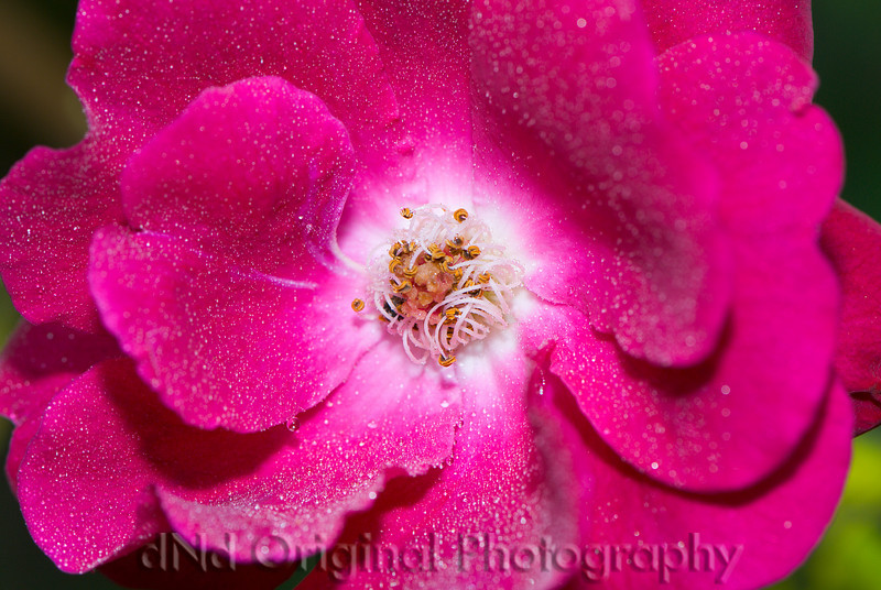 048 Climbing Roses Spring 2007