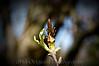 135 Shaw Garden 4-20-2008 - Old Magnolia Blossom (vp snap) vig