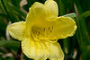 2007 Garden - Day Lilly