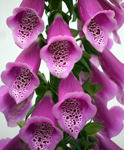 Foxglove close up