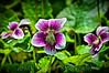 130 Shaw Garden 4-20-2008 - Flower 3 of 3 vig redynamix