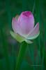 Lotus/Water Lily