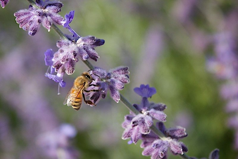Bees love Russian Sage