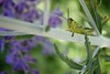 Grass hoppers love Russian Sage too