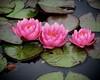 Water lillies, Denver Botanical Gardens