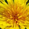Dandelion close-up.