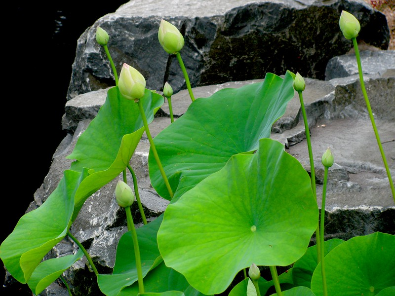 Lotus buds, Denver Botanical Gardens