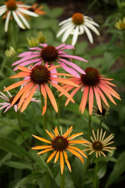 Echinacea, Denver Botanical Gardens