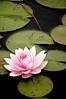 Water lilly, Denver Botanical Gardens