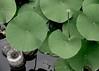 Lotus bud, Denver Botanical Gardens