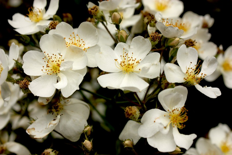 Apple blossoms, Denver Botanical Gardens