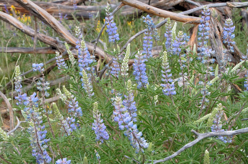 Lupines on the mesa