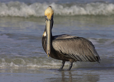 Brown pelican in surf