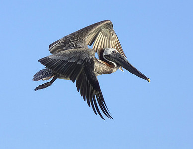 Brown pelican fly past