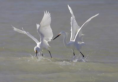 Sowy egrets squabbling