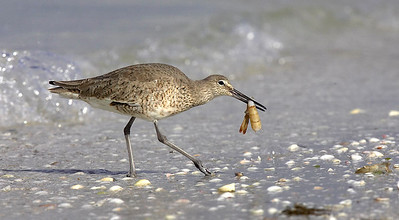 Willet with shrimp